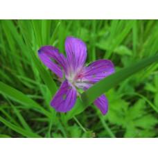 IMG_0532_Field_flowers