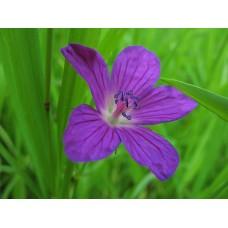 IMG_0534_Field_flowers