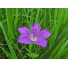 IMG_0535_Field_flowers