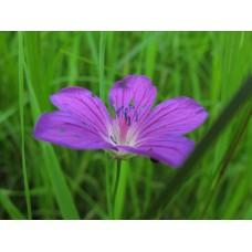 IMG_0536_Field flowers