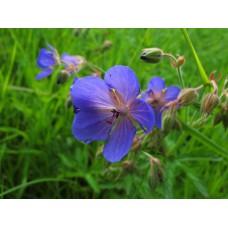 IMG_0583_Field_flowers