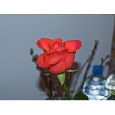 P5131355_Roses