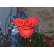 P5131358_Roses