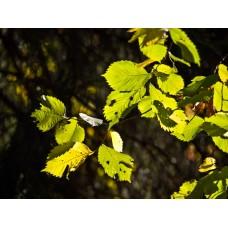 PA040331_Autumn_leaves