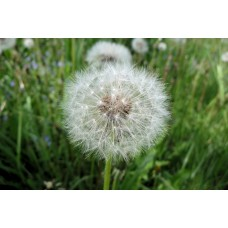 P1000408_Field_flowers