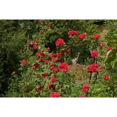 IMGP1592_Roses