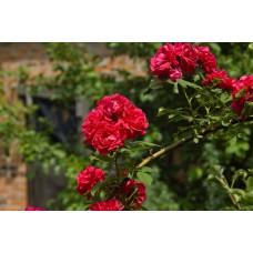 IMGP1593_Roses