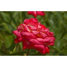 IMGP1596_Roses