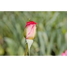 IMGP1608_Roses