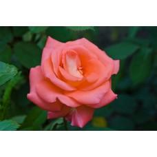 IMGP1626_Roses