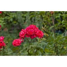 IMGP1627_Roses