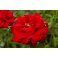 IMGP1668_Roses