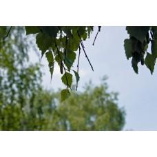 IMGP4947_Leaves
