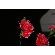 IMGP0752_Carnations