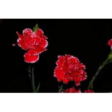 IMGP0754_Carnations