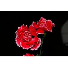 IMGP0759_Carnations