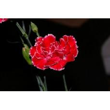 IMGP0764_Carnations