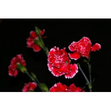 IMGP0766_Carnations