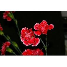 IMGP0767_Carnations
