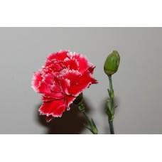 IMGP0791_Carnations