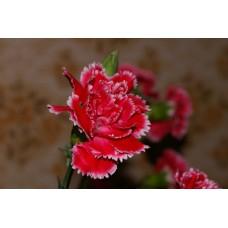 IMGP0793_Carnations