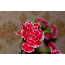 IMGP0794_Carnations
