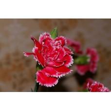IMGP0795_Carnations