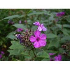 IMGP3902_Field_flowers