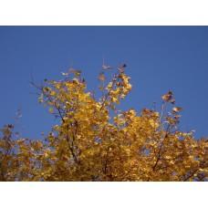 IMGP4065_Autumn_leaves