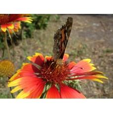 DSC02608_Butterflies