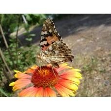 DSC02611_Butterflies