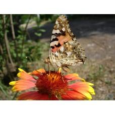 DSC02613_Butterflies