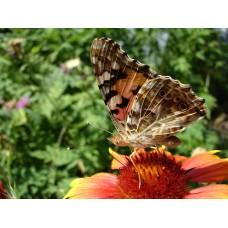 DSC02616_Butterflies