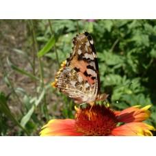DSC02618_Butterflies