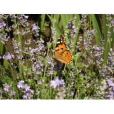 DSC03166_Butterflies