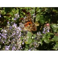 DSC03168_Butterfly