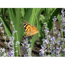 DSC03170_Butterfly