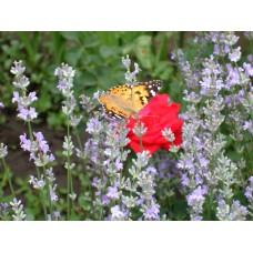 DSC03254_Butterfly