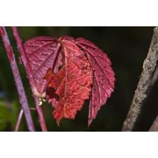IMGP2001_Autumn_leaves