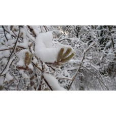 P1030923 _Ice_plants