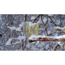 P1030924_Ice_plants