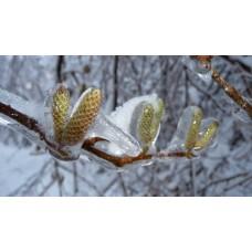 P1030926_Ice_plants