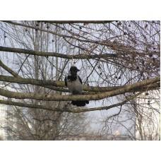P4095677_Crow