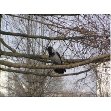 P4095678_Crow