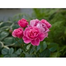 P7058076_Roses