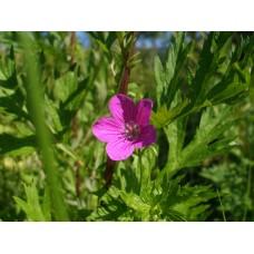 P7060352_Field_flowers