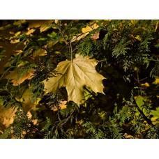PA040052_Autumn_leaves